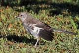 IMG_5083 Northern Mockingbird juvenile.jpg