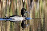 IMG_5514 Ring-necked Duck male.jpg