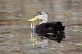 IMG_6066 American Black Duck.jpg