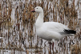 IMG_7328 Snow Goose.jpg