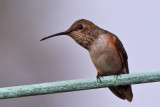IMG_4943a Allen's Hummingbird female.jpg