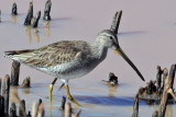 IMG_9323 Dowitcher.jpg