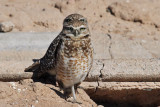 IMG_9233 Burrowing Owls.jpg