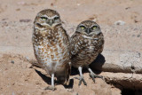 IMG_9252 Burrowing Owls.jpg