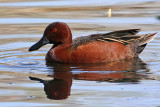 IMG_3467 Cinnamon Teal male.jpg