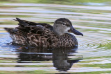 IMG_3421 Blue-winged Teal female.jpg