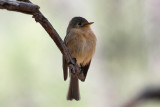 IMG_9790 Buff-breasted Flycatcher.jpg