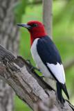 IMG_1085b Red-headed Woodpecker.jpg