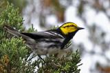 IMG_0232 Golden-cheeked Warbler.jpg