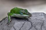 IMG_0306a Green Anole.jpg