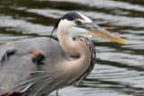 IMG_3233a Great Blue Heron.jpg
