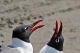 IMG_2709a Laughing Gulls.jpg