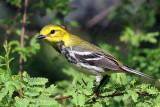 IMG_2211a Black-throated Green Warbler.jpg