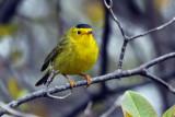 IMG_4621a Wilson's Warbler male.jpg