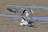 IMG_2157a Royal Tern.jpg