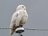 IMG_5075a Snowy Owl.jpg