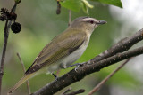 IMG_6037a Red-eyed Vireo.jpg
