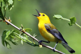 IMG_3839 Prothonotary Warbler male.jpg