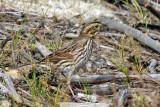 IMG_9597 Savannah Sparrow.jpg