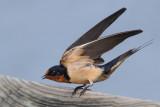 IMG_3187 Barn Swallow.jpg