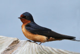 IMG_3189 Barn Swallow male.jpg