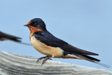 IMG_3190 Barn Swallow female.jpg