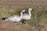 IMG_0465 Snow Geese.jpg