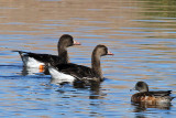 IMG_0487 Greater white-fronted geese.jpg