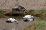 IMG_0518 Geese.jpg