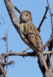 IMG_1800a Clay-colored Sparrow.jpg