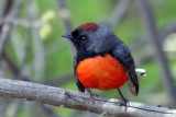 IMG_2170 Slate-throated Redstart.jpg