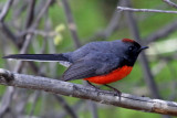 IMG_2184 Slate-throated Redstart.jpg