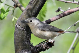 IMG_3336 Lucy's Warbler.jpg
