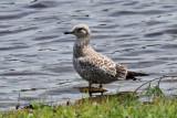 IMG_1076a Herring Gull.jpg
