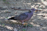 IMG_3510a Band-tailed Pigeon.jpg