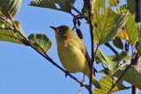 IMG_8873 Yellow Warbler imm female.jpg