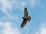 IMG_7139a Broad-winged Hawk.jpg
