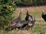 IMG_4629a Wild Turkeys.jpg