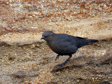 IMG_3336a Brewer's Blackbird.jpg
