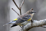 IMG_6222a Yellow-rumped Warbler female.jpg