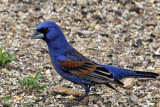IMG_6552 Blue Grosbeak male.jpg