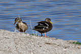 IMG_7793 Hybrid Mallard x American Black Duck male.jpg