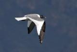 IMG_1430 Sabine's Gull.jpg