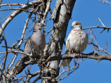 IMG_8405a Two Doves.jpg