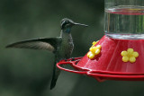 IMG_6565 Magnificent  Hummingbird.jpg