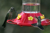 IMG_6581 Magnificent  Hummingbird.jpg