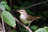 IMG_6866a Swainson's Warbler.jpg
