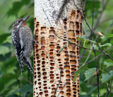 IMG_1534a Yellow-bellied Sapsucker.jpg