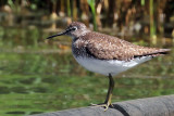 IMG_1741a Solitary Sandpiper.jpg