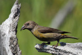 IMG_2648a Red Crossbill female.jpg